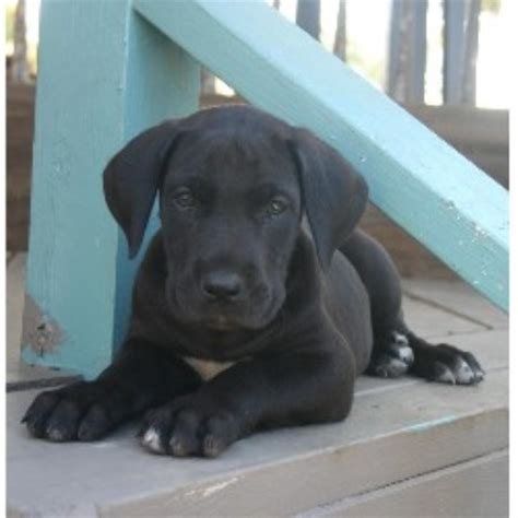 great dane puppies in michigan great dane breeders and kennels freedoglistings page 4