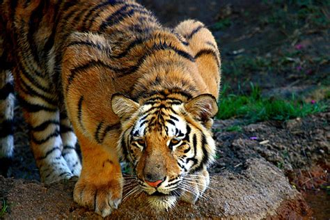 Couching Tiger by Is Crouching At The Door Ingodsimage