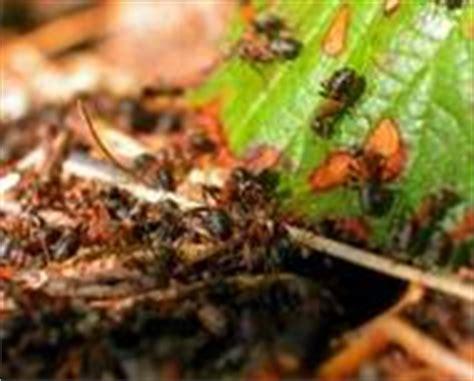 waldameisen im garten bekämpfen ameisen bek 228 mpfen tipps gegen ameisen im haus garten