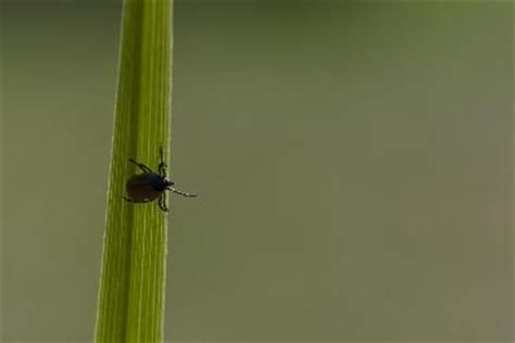 lime kill fleas  ticks   yard helpful
