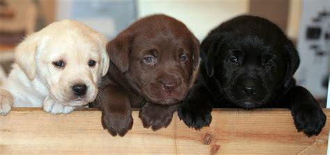 buy labrador puppy find a labrador puppy