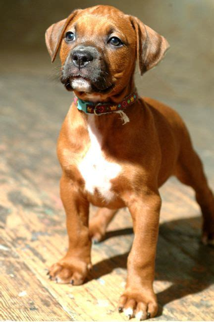 15 boxer cross breeds you ve got to see to believe