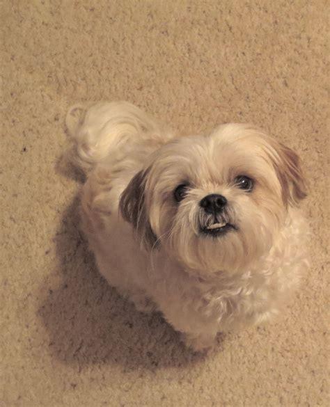 underbite shih tzu my shih tzu maltese mix lookatmydog