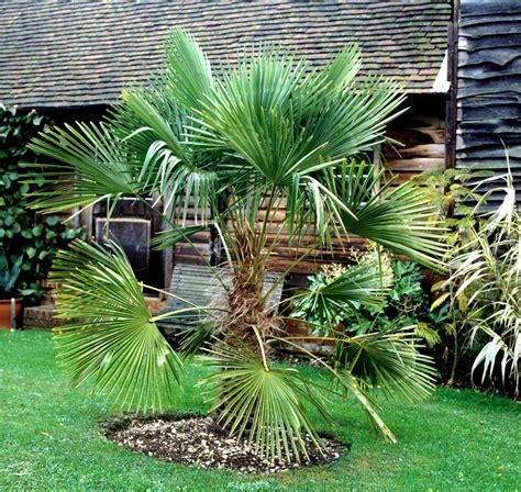 fruit d un palmier trachycarpus planter et cultiver ooreka