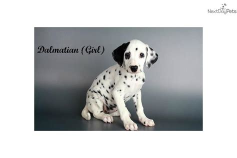 dalmatian puppies for sale los angeles our beautiful dalmatian baby dalmatian puppy for sale near los angeles