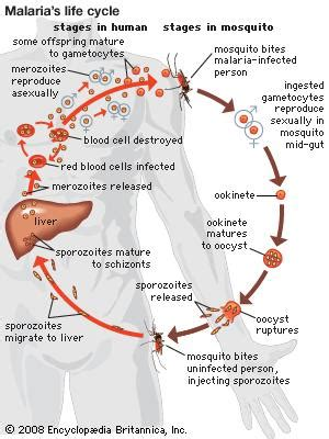 pathophysiology of malaria diagram malaria pathology britannica