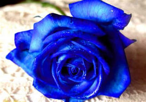 imagenes rosas llorando ranking de flores azules listas en 20minutos es