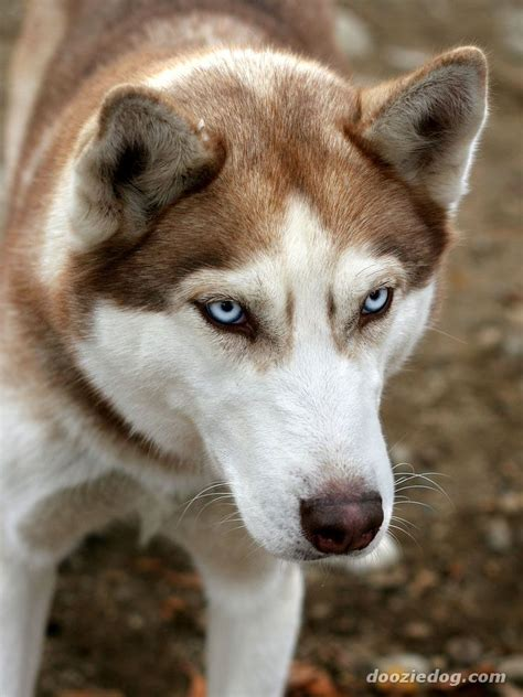 alaskan breeds alaskan malamute breed pictures and photos breeds picture