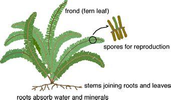 diagram of a fern pteridophyte ferns