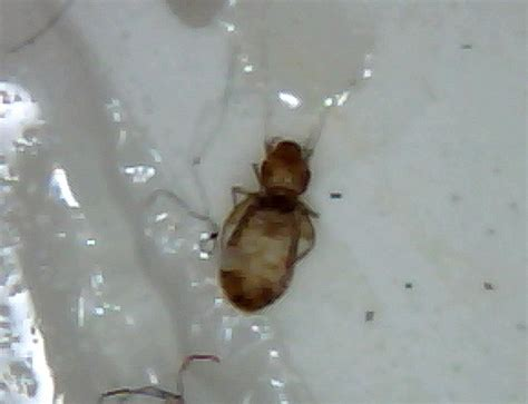 bed bugs vs lice book lice vs bed bugs