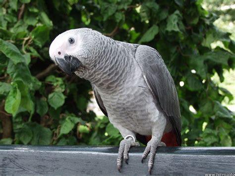 wallpaper grey with birds rey parrot pics