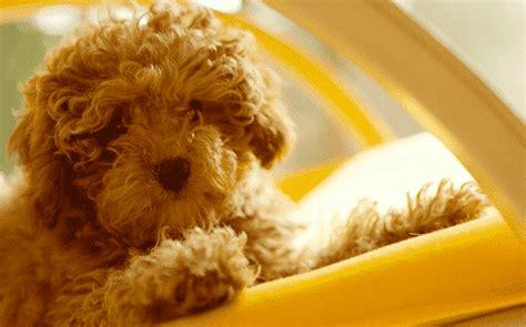 poodle dog pet insurance compare plans prices