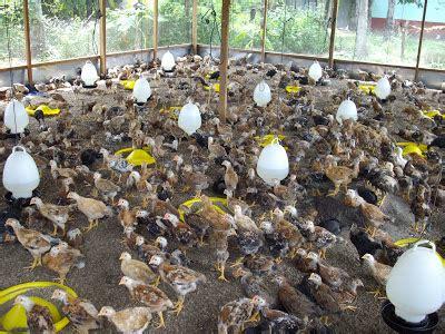 Bibit Ayam Hutan pengurusan projek ayam kung