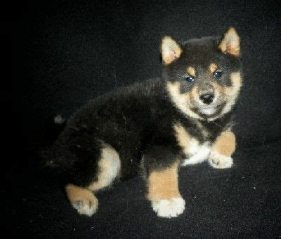shiba inu puppies mn 21 best images about shiba inu is best on akita puppies for sale orlando