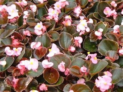 begonias your indoor home decor house plants for you house plants for you