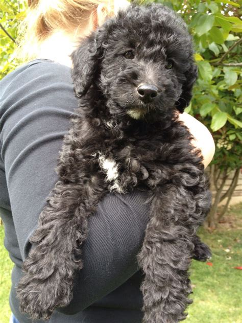 mini labradoodles uk quelques liens utiles