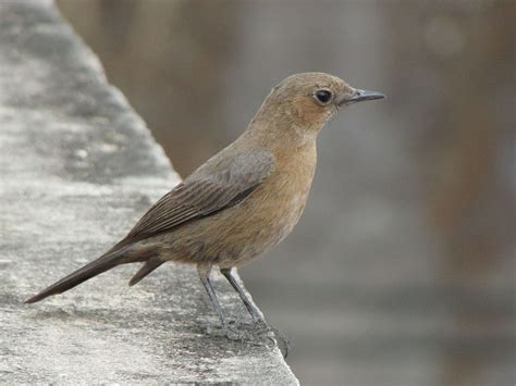 brown rock chat wikipedia