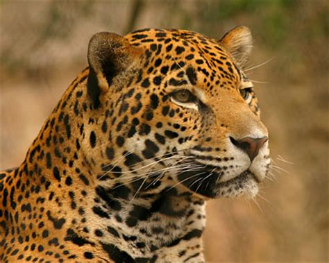 all about jaguars all animal pictures jaguar rainforest animals