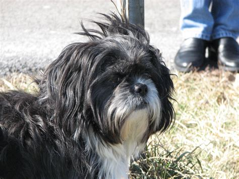shih tzu original breed shih tzu information breeds at dogthelove