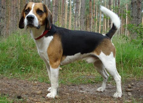 when are dogs grown beagle dogs temperament exercise and grooming inspirationseek