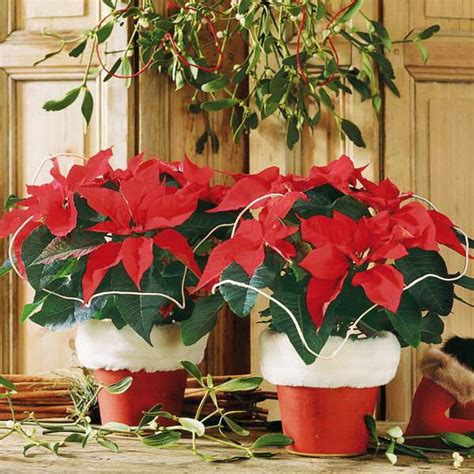 26 best deck the halls with poinsettias images on