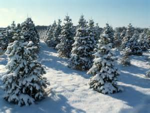 real christmas trees offer economical environmental and