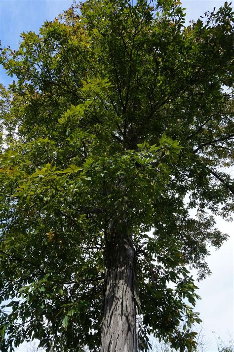 shagbark hickory tree seeds pictures