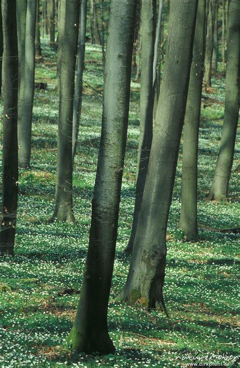teppich göttingen buschwindr 246 schen anemone nemorosa ranunculaceae