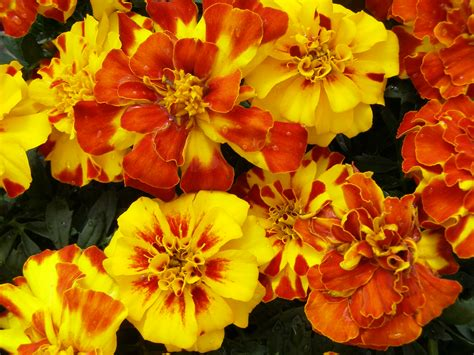 Images Of Marigold Plant