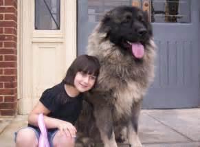 Russian caucasian mountain dog for sale usa tokovenuz com