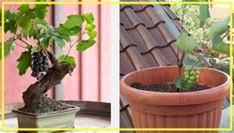 Pupuk Untuk Bunga Pot pupuk dan merawat bibit anggur pot tanaman bunga hias