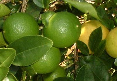 Harga Bibit Jeruk Nipis Lokal sudah sepekan persediaan jeruk nipis di pasar tradisional