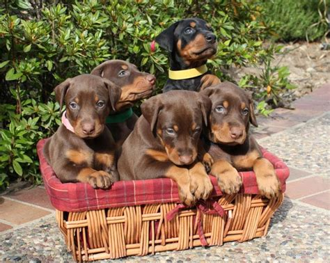 rescue doberman pinscher puppies adorable doberman pinscher puppies for more puppies