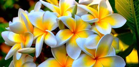 imagenes de flores jasmin el jazm 237 n planta del mes de febrero en verde y sostenible