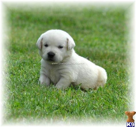 potomac valley golden retriever club labrador puppies for sale labrador puppies for sale mn