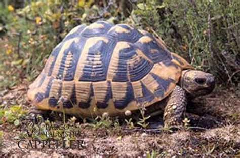 tartaruga hermanni alimentazione testudo hermanni