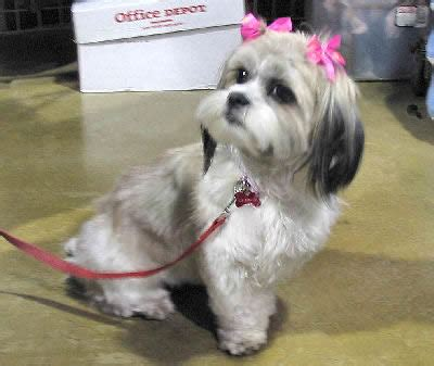 shih tzu dogs care shih tzu breed guide information and pictures