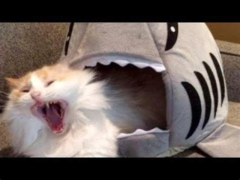 laugh  hard youll cry funniest cat  compilation