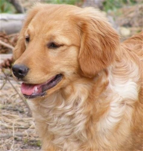 golden retriever cross cavalier miniature golden retriever breed information and pictures