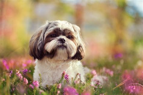 shih tzu pronounce 9 fluffy facts about the shih tzu mental floss