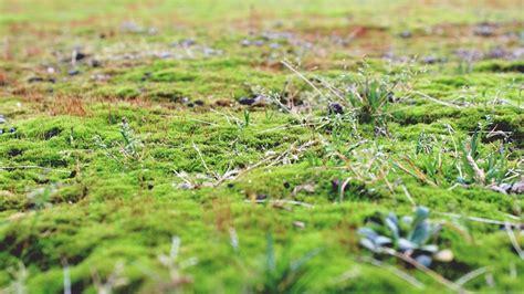 prato per giardino come controllare il muschio sul prato verde giardino
