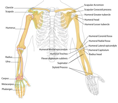 human bones diagram pilt human arm bones diagram svg
