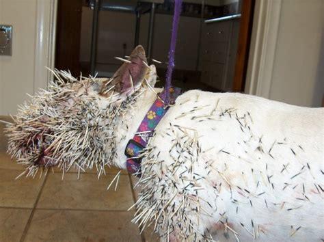 pit bull vs porcupine