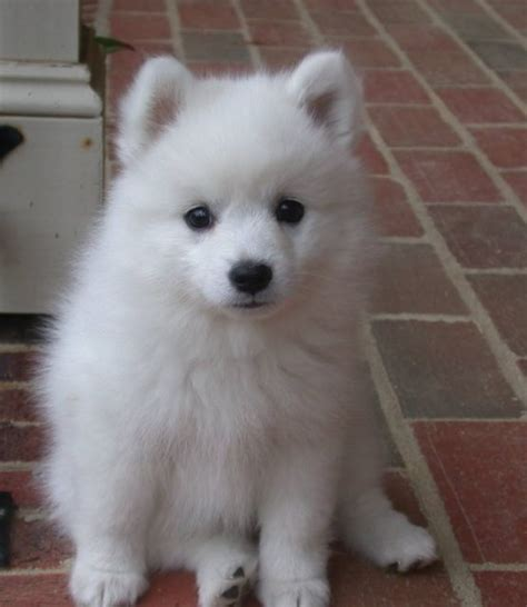 Do Japanese Spitz Shed by Japanese Spitz Puppy