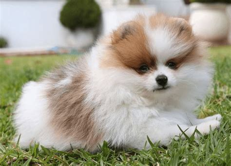 pomeranian shih tzu images of pug pomeranian mix dogs breeds picture