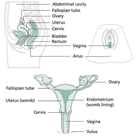 vaginia diagram anatomy pictures