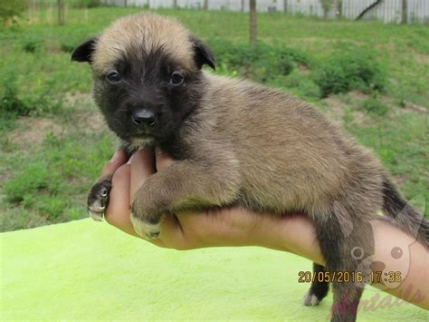 malinois puppies for sale belgian malinois puppy for sale airtails