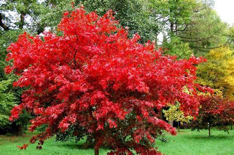 bonsai da giardino acero rosso acer buergerianum piante da giardino