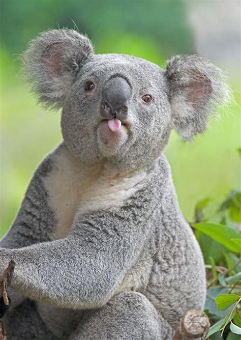 cute rustic mountain woods black bear upside down hook new koala bear interesting and amazing all basic facts