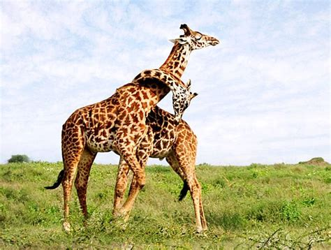 8 Strange Animal Mating Rituals by 30 Strangest Animal Mating Habits Is In The Air